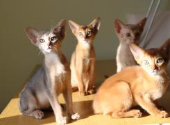 Абіссінські кошенята всіх забарвлень