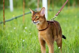 Абиссинский кіт для в'язок