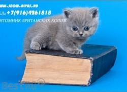Британські блакитні кошенята