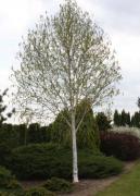 Дерева декоративні для озеленення