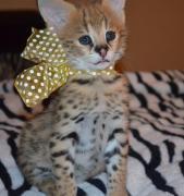 Екзотичні кішки для продажу