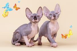 Елегантні кошенята, племінні пари
