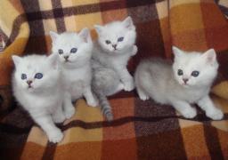 Кошенята британської сріблястою шиншили-ваша радість і затишок в домі