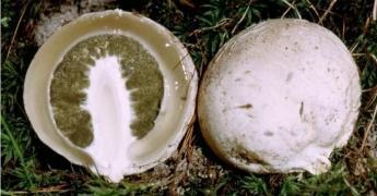 Лікувальний гриб 'Веселка'