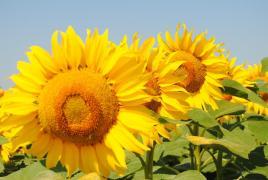 насіння соняшнику Україна Дорого