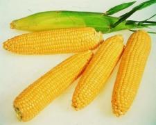 Насіннєвий матеріал кукурудзи і соняшнику від виробника ЮгАг
