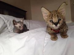 Оцелота , Каракай і Сервала кошенята на продаж
