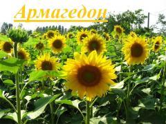 Продам гібрид соняшнику Армагедон