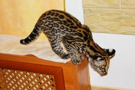 Продам кошеня Оцелота (лат. Leopardus pardalis)