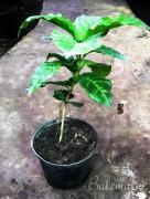 """Продаж саджанців кавового дерева, сорт """"Арабіка"""""""