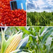 Пропонуємо насіння кукурудзи від НВФ Гран