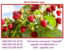 Саджанці ремонтантної малини Августовое диво