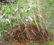 саджанці, рослини, дерева, квіти, (опт від 1000 грн)