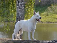 Цуценят Білої Швейцарської Вівчарки
