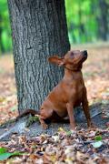 Цвергпінчер щеня