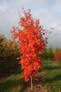 Великомірні дерева - недорогі і якісні