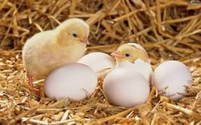 Яйце бройлера інкубаційне ціна